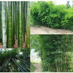 comprar bambu gigante
